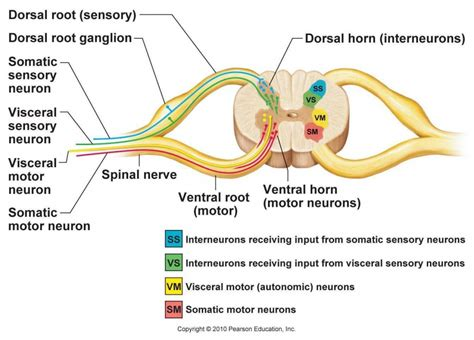 spinal cross section spinal cord anatomy human anatomy diagram