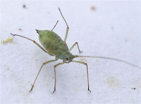 plants that repel aphids aphid pesticides 10 eco friendly ways to repel