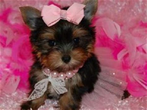 teacup yorkie for sale atlanta ga gorgeous teacup yorkie puppies available for sale adoption from atlanta