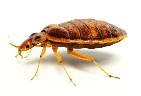 bed bugs travel how to avoid bed bugs while traveling traveldudes org