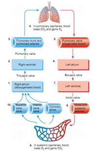 blood flow of the heart paramedic study guide pinterest