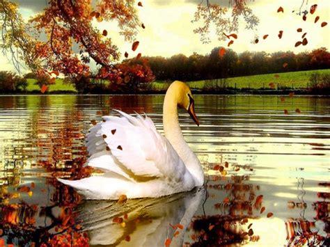 fall lake  swans beautiful background wallpaperscom