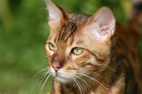 Cat Ct010 Brown Yellow 1 oakclan nursery