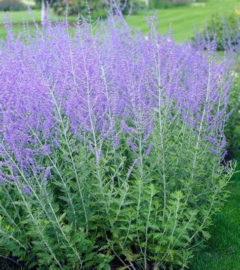 Plants In Kitchen by Perovskia Blue Spire Russian Sage Pack Of Three