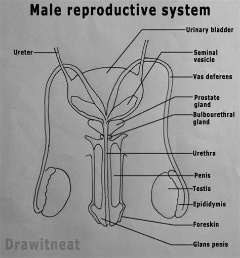 reproductive system and diagram best 25 reproductive system organs ideas on