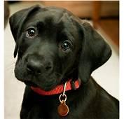 Black Lab Border Collie Mix Puppies