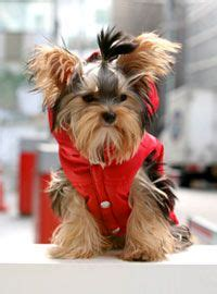 yorkie clothes patterns 25 best ideas about yorkie clothes on chihuahua clothes clothes