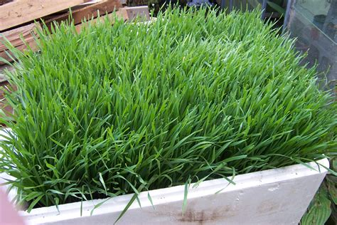 Garden Of Wheatgrass Organic Wheat Grass Seed For Juicing Landscapedesign Co