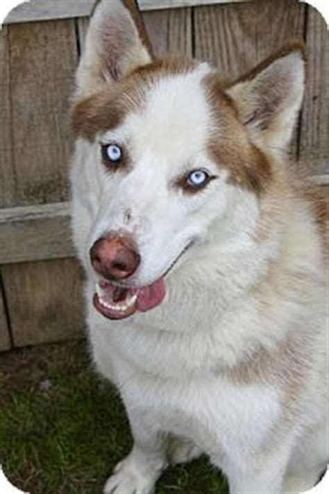 husky puppies for adoption in pa media pa husky meet asher a for adoption