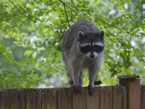 raccoon images how to get rid of raccoons raccoon facts photos