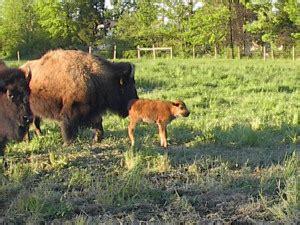 backyard bison backyard bison pics of our buffalo and quakertown