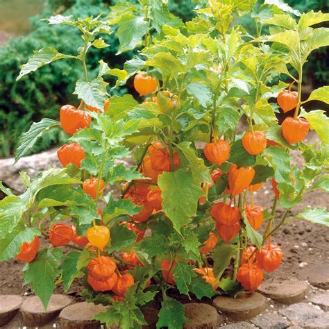 backyard berry plants physalis facts health benefits and nutritional value