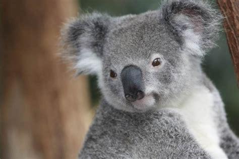 imagenes bellas de koalas im 225 genes de tiernos koalas para descargar animales hoy