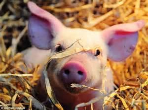 Warm Bed Tiny Piglet Found Trotting Around Garden In Frozen Weather
