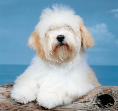 are havanese with children havanese breed information and images k9 research lab