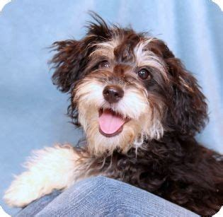 cockapoo puppies for adoption pin cockapoo puppies for sale in oregon ohio classifieds americanlisted on