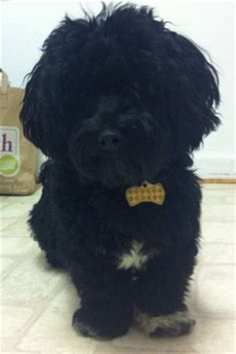 house a havanese puppy black havanese potential pet pearls and black