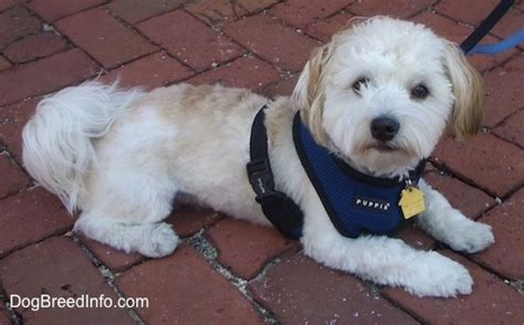 havanese puppy cuts havanese puppy cut www imgkid the image kid has it