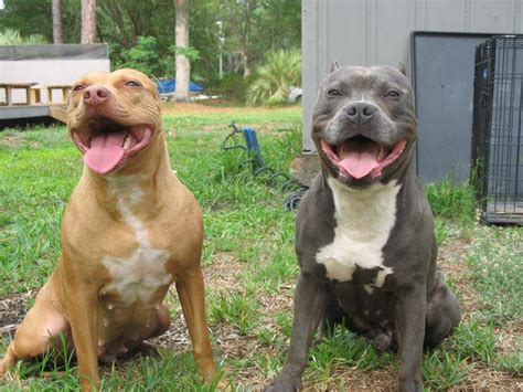 razor edge the most american bully breeders bloodlines