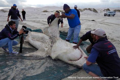 blue whale vs whale shark abenaki whale vs great white shark an epic beatdown