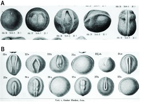 pattern formation during embryonic development is based on haeckel fraud proven part 2 creation com