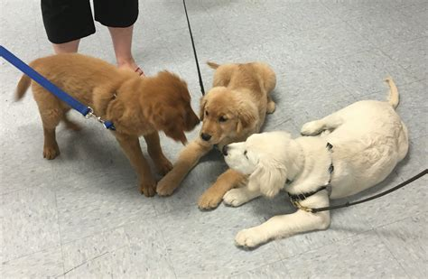 golden retriever colors the three colors of goldens three dogs