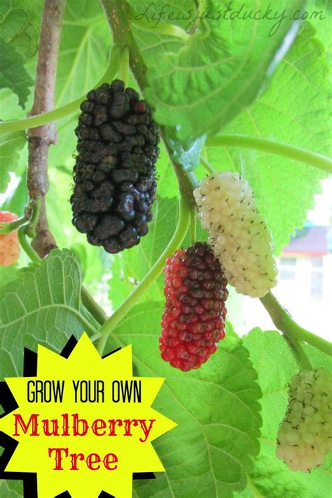 when do mulberry trees fruit grow your own mulberry tree a wonderful plant for your