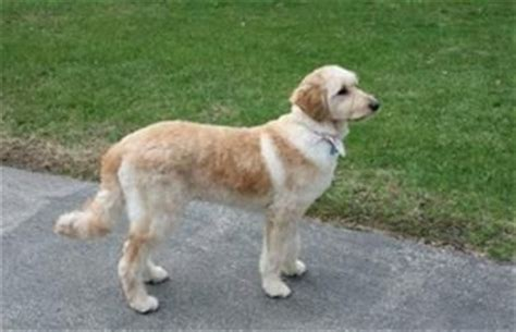 golden retriever haircuts 17 best images about doodledoos on search and golden doodle puppies