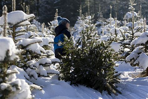cut your christmas tree near red feather lakes in 2015