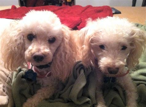 puppy rescue los angeles standard poodle rescue los angeles ca dogs our friends photo