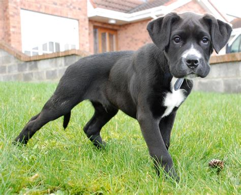 lab boxer puppy boxador boxer lab mix info temperament puppies pictures