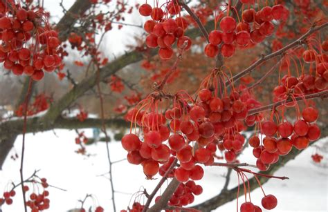 what deciduous tree has berries in winter tree with berries in winter 28 images trees with berries in winter images trees with