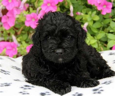 pwd puppies black portuguese water puppy dogs and puppies