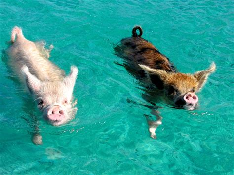 the tiny swimming pigs of pig beach deep sea news