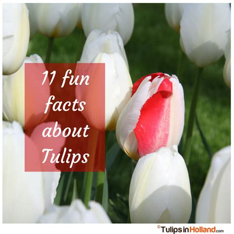 11 fun facts about tulips tulips in holland
