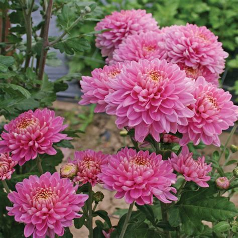 chrysanthemum pennine jane plant from mr fothergill s seeds and plants