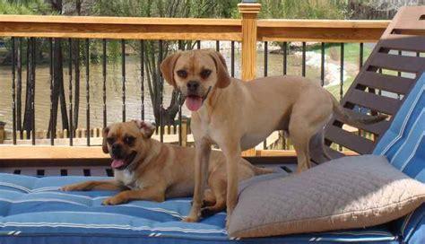 pug designer breeds puggle designer breed pug beagle mix information and images