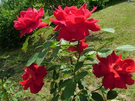 imagenes de rosas rojas frescas so 241 ar con rosas todo lo que debes saber sobre su significado