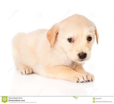 sad golden retriever puppy sad golden retriever puppy isolated on white background stock image image of