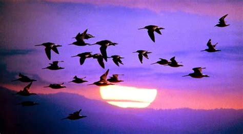 why do birds migrate bird migration facts