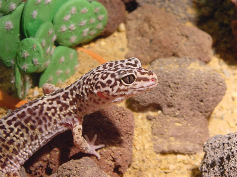 leopard gecko banded geckos