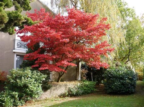 8 best images about small trees for sunset zone 17 on gardens acer palmatum and plants