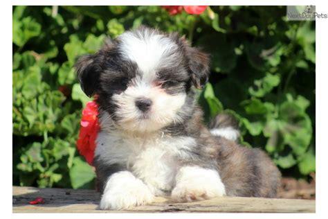 malshi puppies for sale mal shi malshi puppy for sale near lancaster pennsylvania 866e9aff 30f1