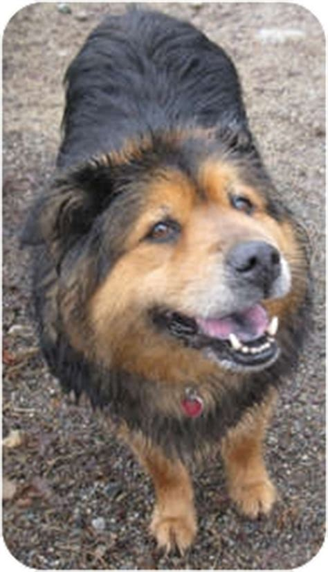 rottweiler chow chow mix adopted a15550379 hayden id rottweiler chow chow mix