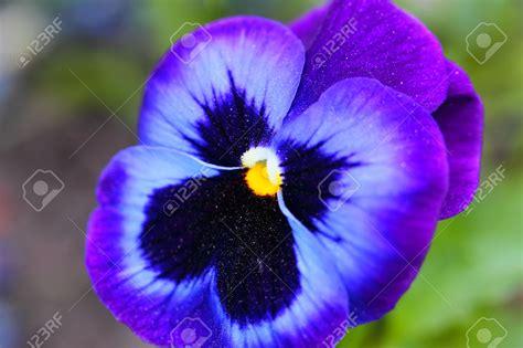 Flowers Violet violet flower hd wallpapers pulse