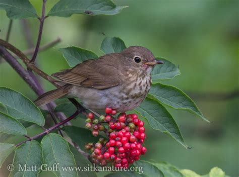 swainson s thrush and ripe elderberries sitka nature