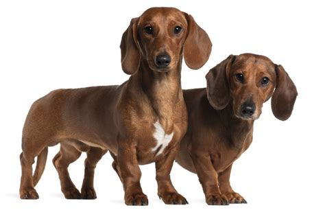 sausage dogs 10 sausage behaviors and characteristics behaviors