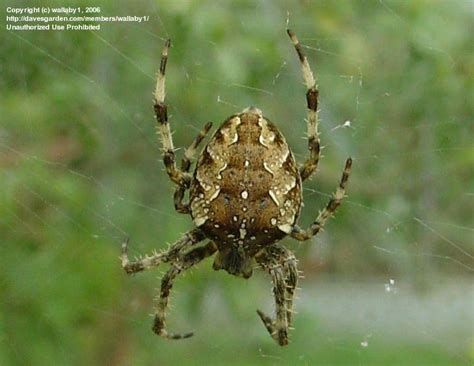 Garden Spider Lives Bug Pictures Cross Spider Araneus Diadematus By Wallaby1