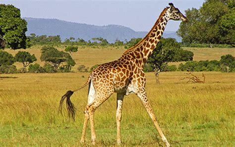 imagenes de jirafas en ingles jirafas pierden la mitad de su poblaci 243 n en diez a 241 os y
