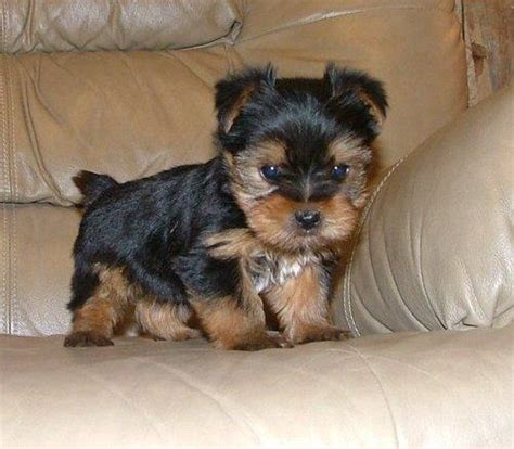 bulldog yorkie puppy dogs teacup terrier puppies